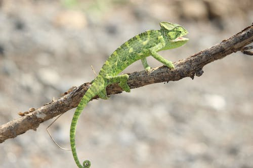 Green Chameleon on Brown Tree Branch
