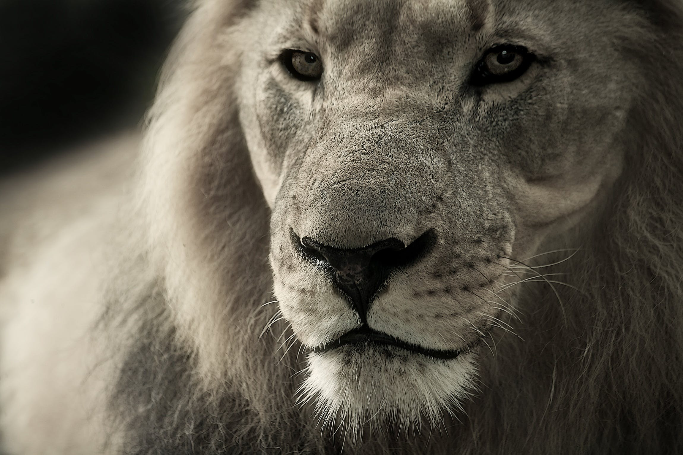 Black and White Lion Photograph