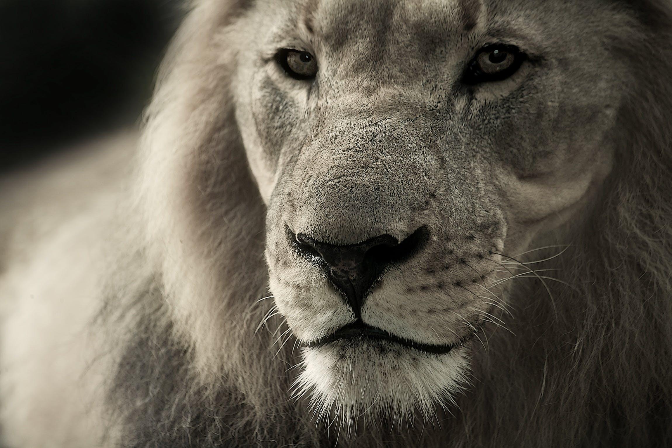 Kostenloses Stock Foto zu schwarz und weiß, tier, löwe, wild