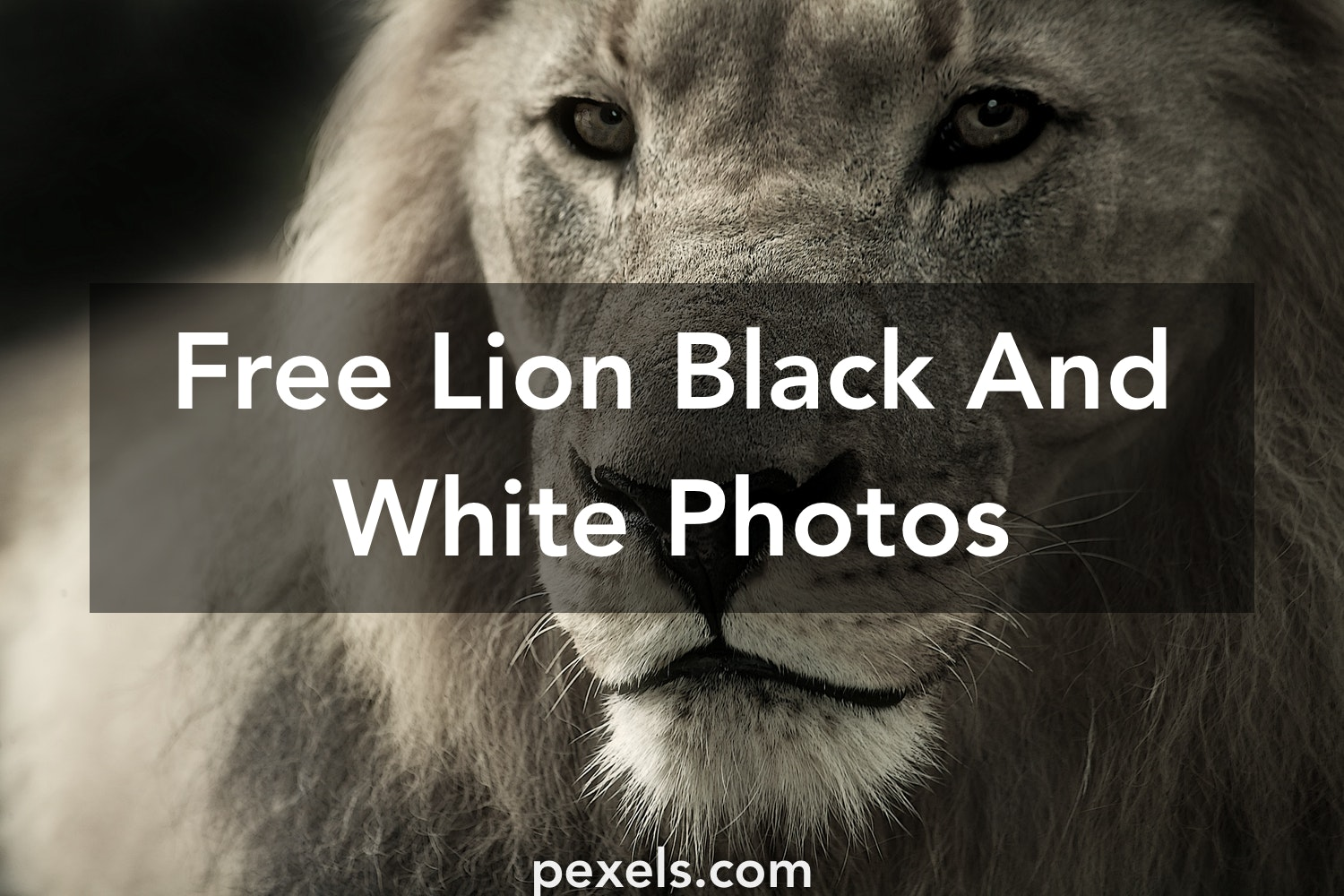 1000 beautiful lion black and white photos · pexels · free stock photos