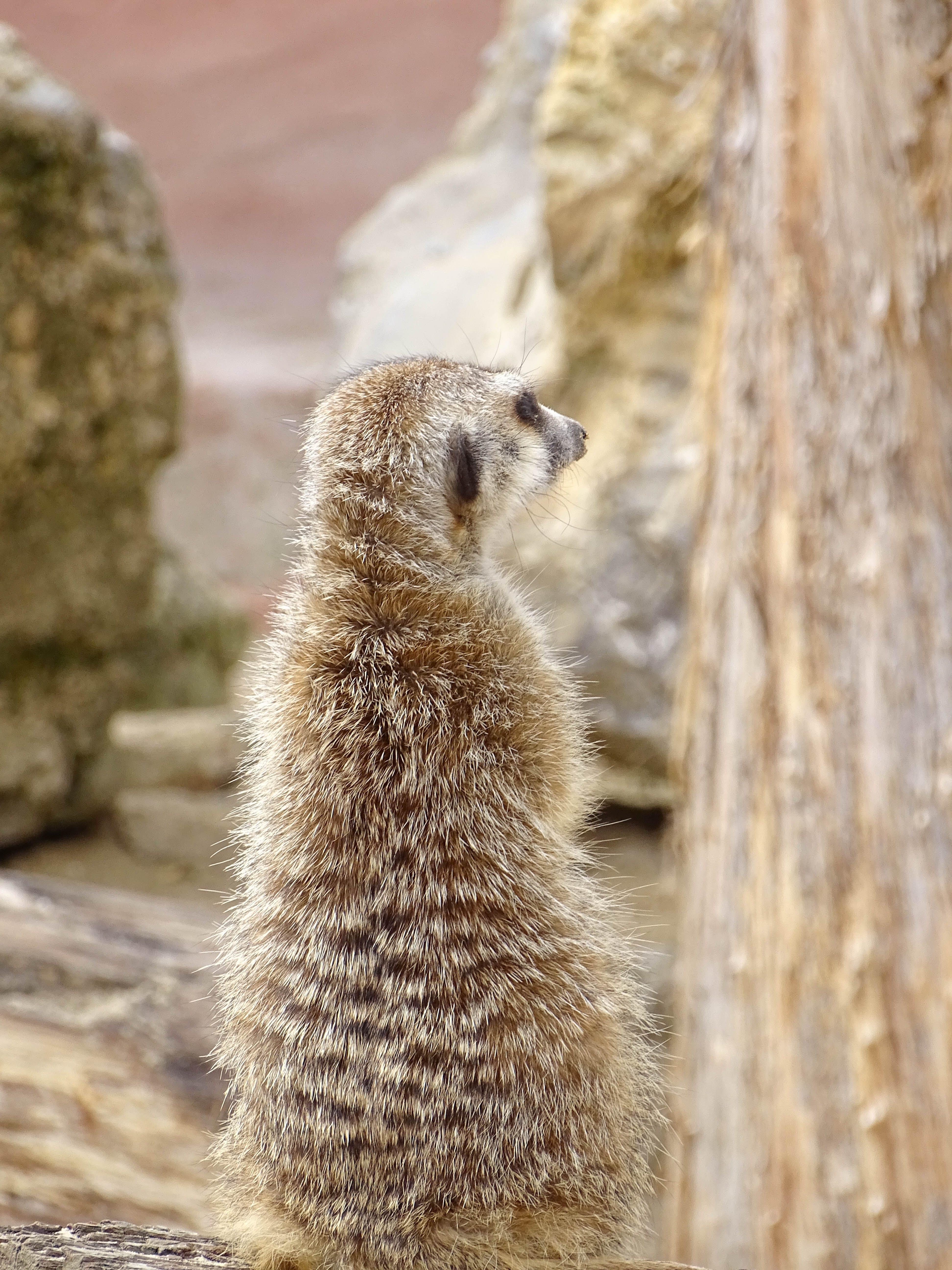 Δωρεάν στοκ φωτογραφιών με meerkat, γλυκούλι, ζώα, ζώο