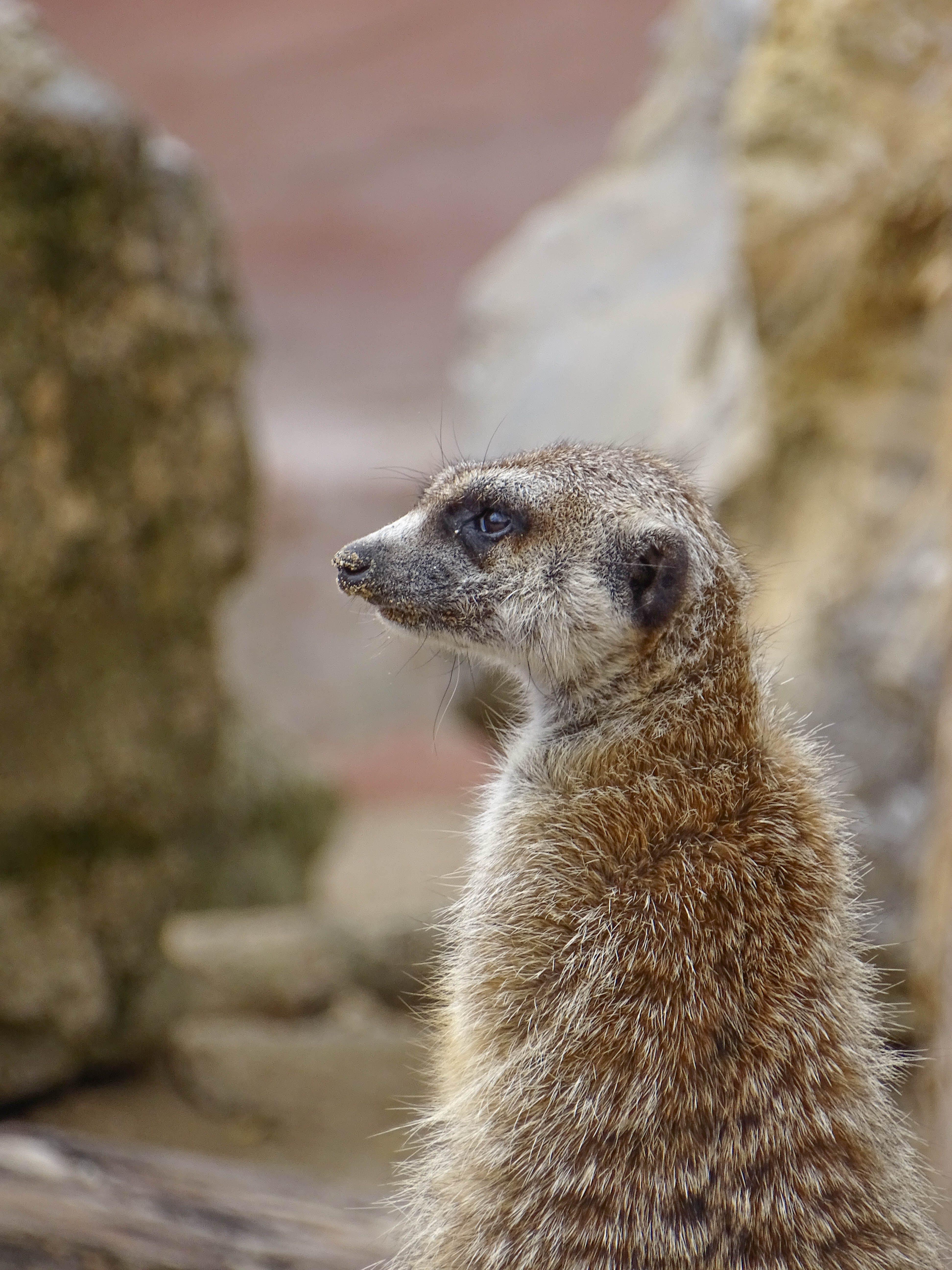 Základová fotografie zdarma na téma roztomilá zvířátka, roztomilý, surikata, zoo