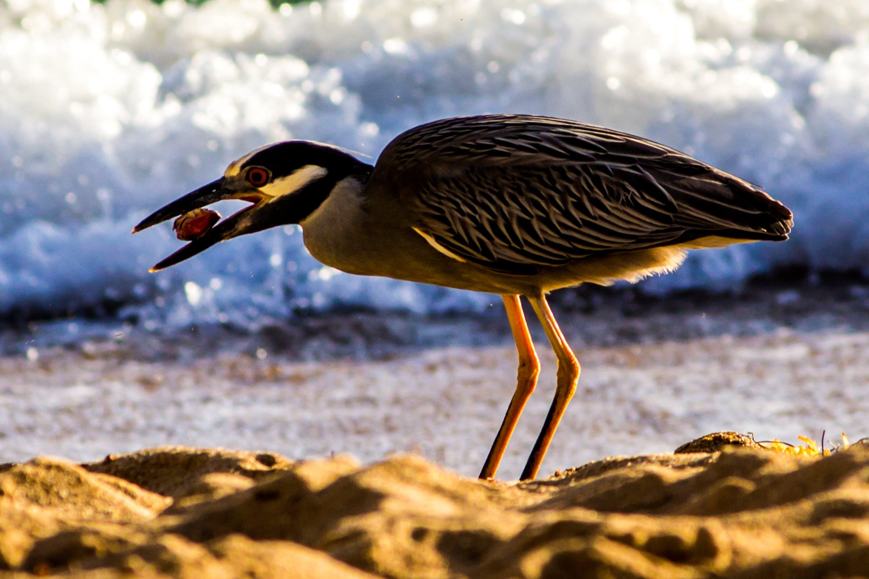サンファンプエルトリコ, ビーチ, 海岸の鳥の無料の写真素材