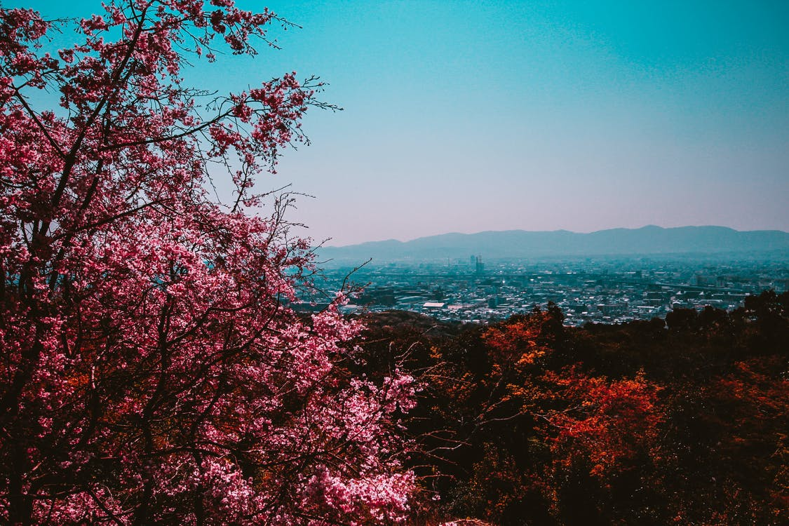 Pink Leafed Tree in Forest Near City Under Clear Day Sky
