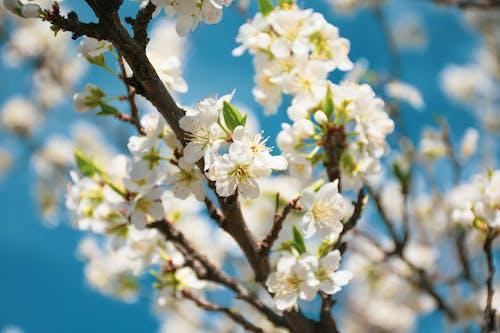 Fotobanka sbezplatnými fotkami na tému detailný záber, flóra, kvet ovocného stromu, kvety