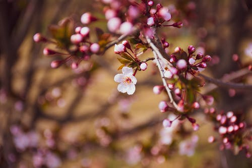 Cherry Blossom In Close Up Photography