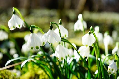 Imagine de stoc gratuită din clopotei, floare, floră, flori