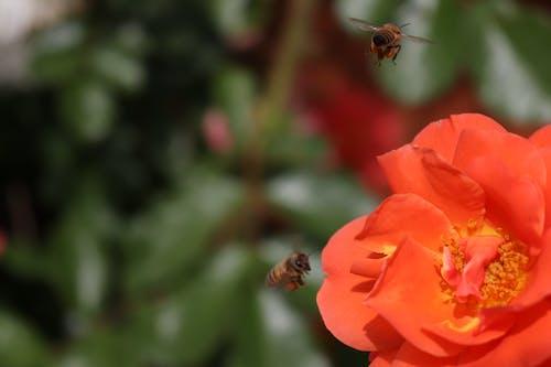 Foto profissional grátis de abelha, broto, flor, inseto