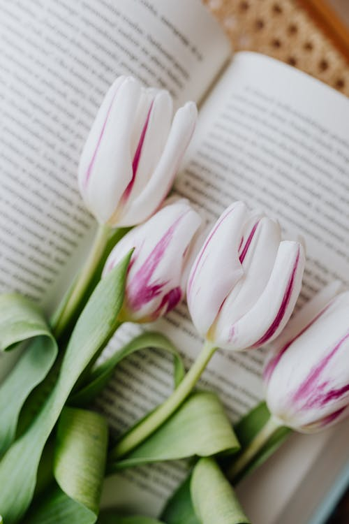 Tender white violet tulips on page of book placed on retro chair