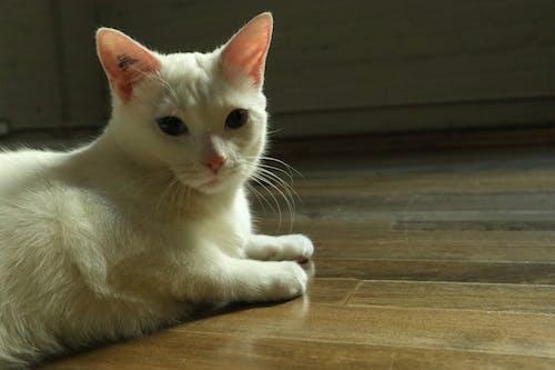 Free stock photo of en el piso, gato blanco
