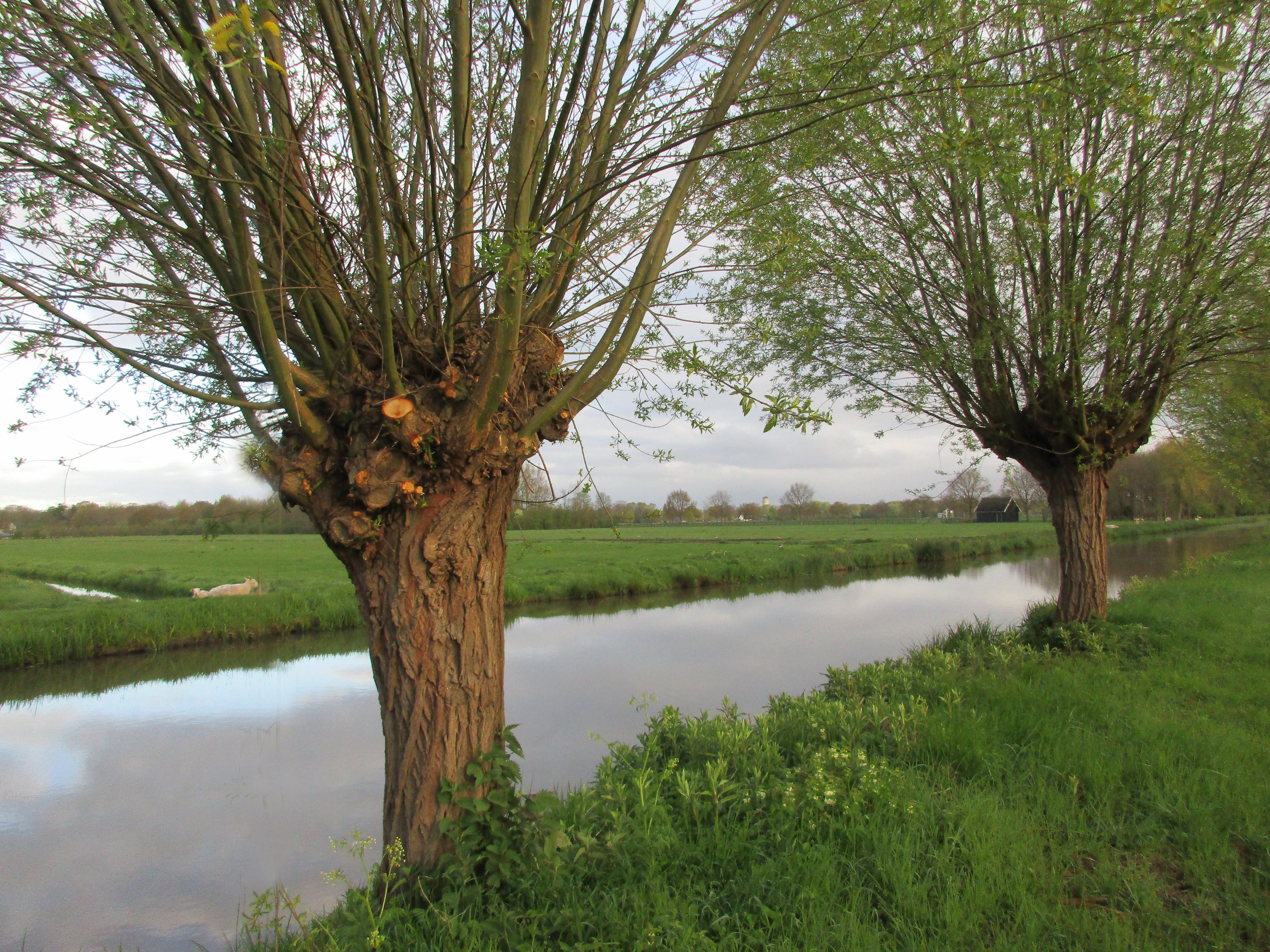 Free stock photo of dutch landschape, willow trees