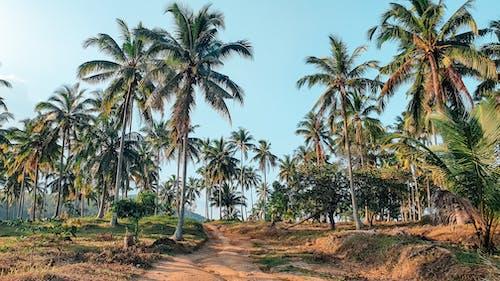 Foto stok gratis pedesaan, pepohonan palem, pohon