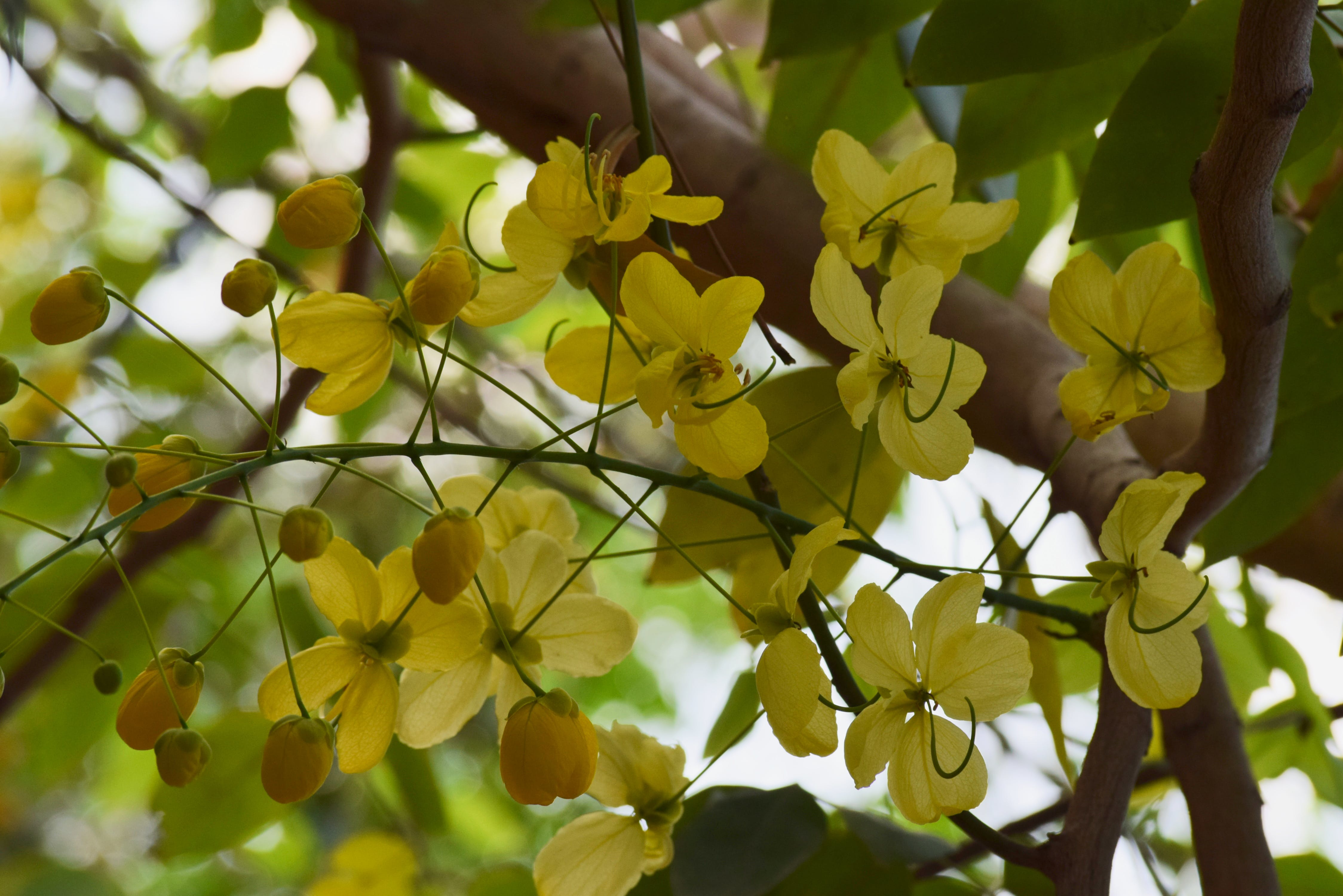 Free stock photo of flower, yellow flowers