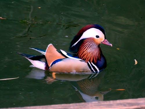 Blue and Brown Duck
