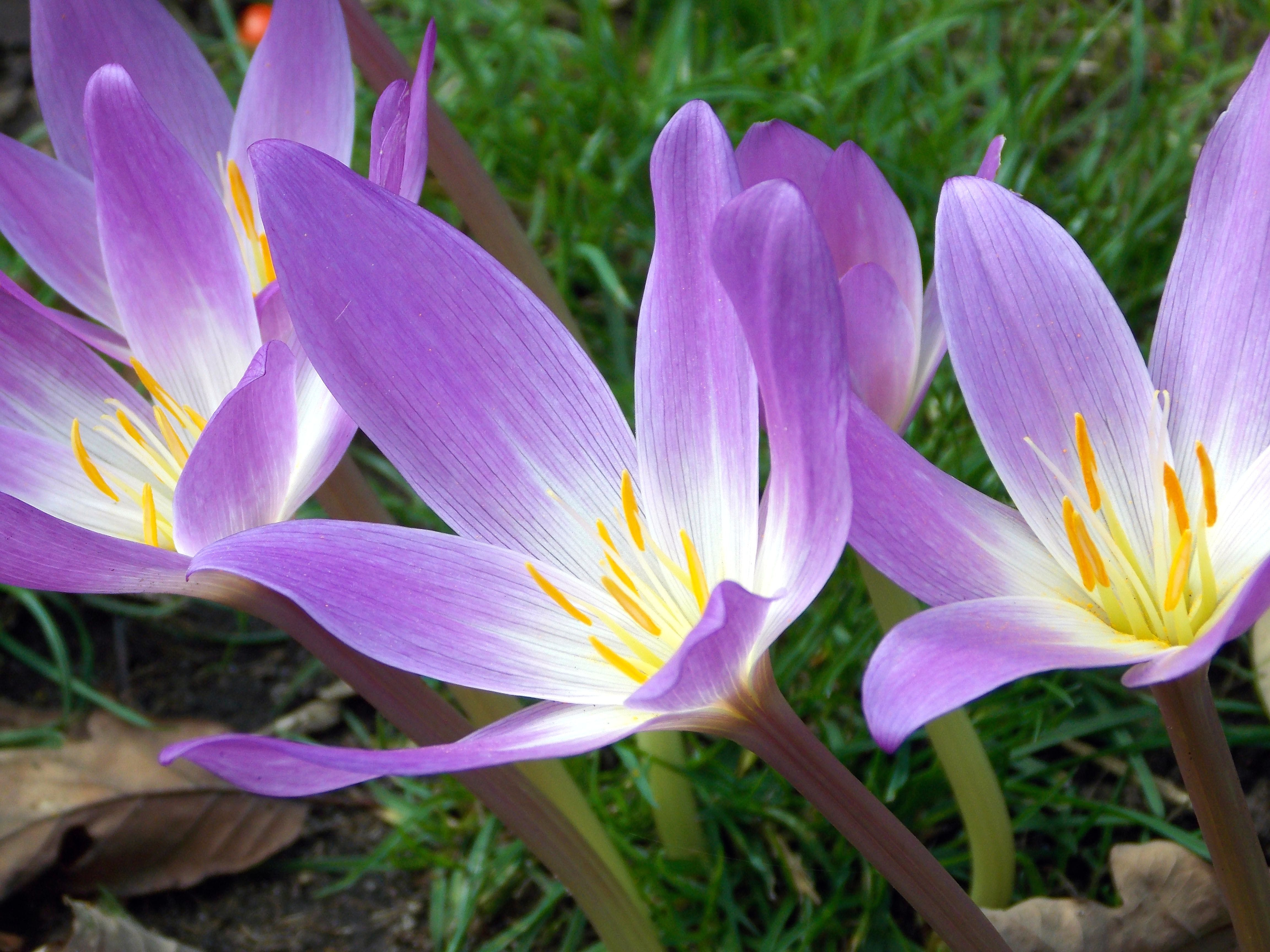 Purple Lily Flowers