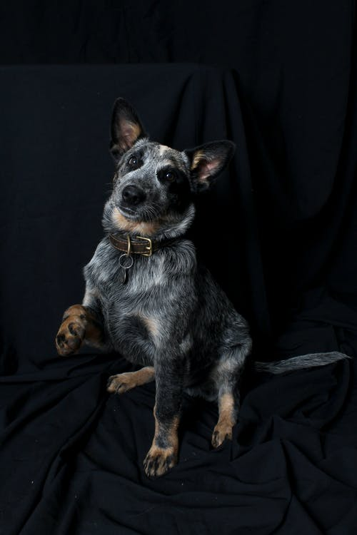 Free stock photo of australian cattle dog, Cattle dog, cute, dog