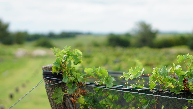 Free stock photo of grapevine, vineyard, wine
