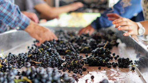 Free stock photo of grapevine, hands, winery, work