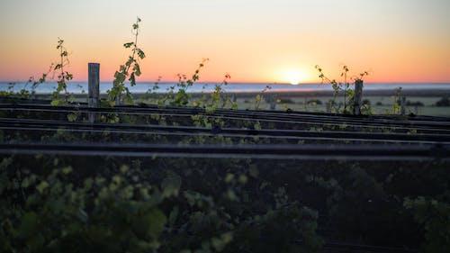 Free stock photo of horizon, peaceful, sunset, vineyard