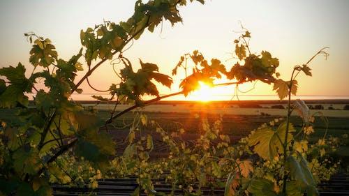 Free stock photo of green, peaceful, sunset, vineyard