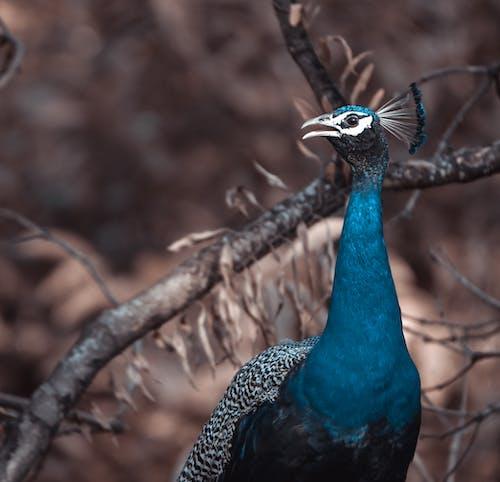 クジャク, 動物, 動物の写真, 孔雀の無料の写真素材