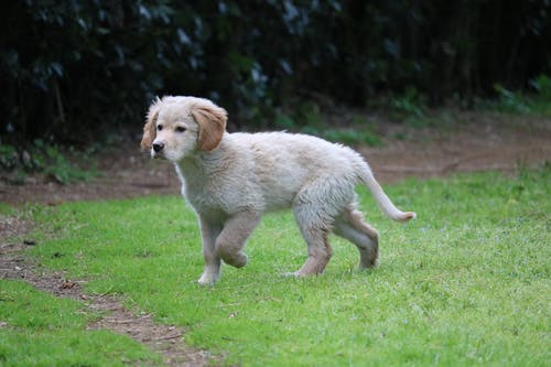 Yellow Labrador Retriever Running On Green Grass Field