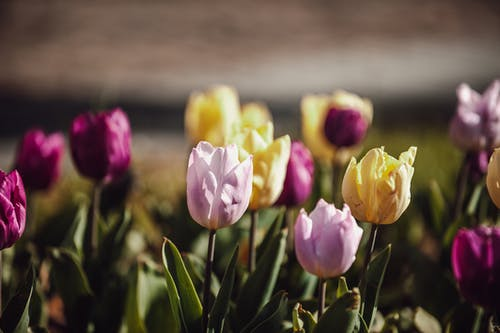 Yellow And Pink Tulips In Bloom