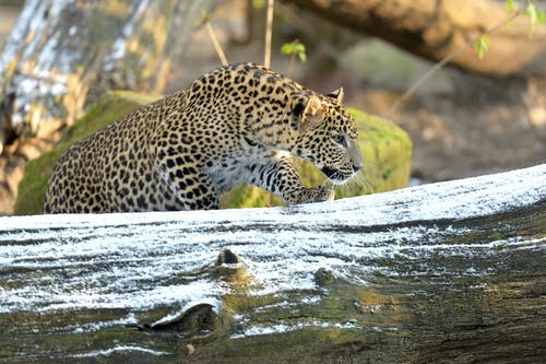 Free stock photo of jaguar