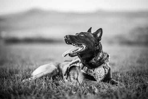 Grayscale Photo of German Shepherd Lying on Grass Field