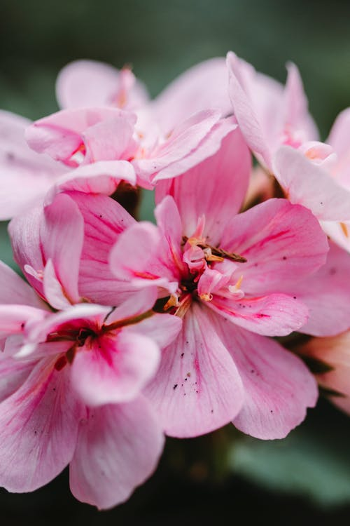 Close-Up Shot Of Pink Flowers