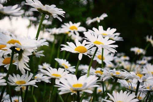 bulanıklık, Çiçekler, kökler, papatyalar içeren Ücretsiz stok fotoğraf