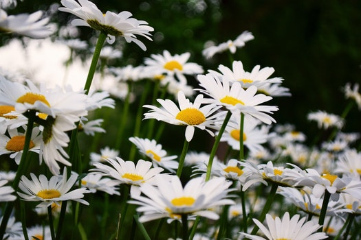 Free stock photo of flowers, petals, blur, daisies