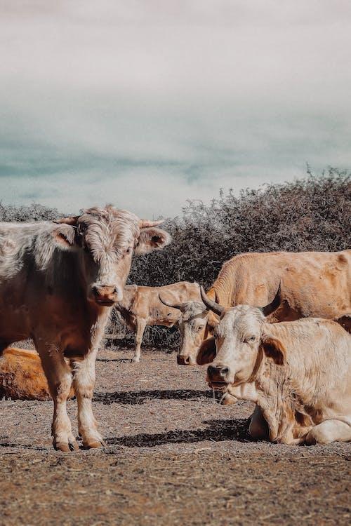 Herd of Cow on Brown Field