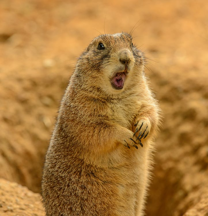 Funny cute furry Mexican prairie dog standing on hind legs with opened mouth near burrow