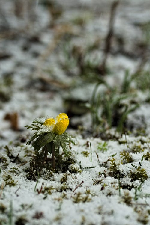 Free stock photo of garden flower, snow, snow covered, snowcapped