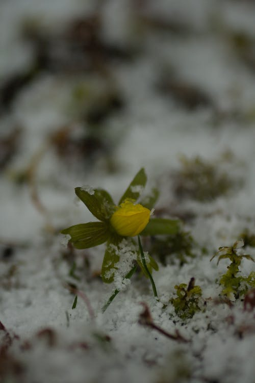 Free stock photo of dark, gardenflower, moody, snowcapped