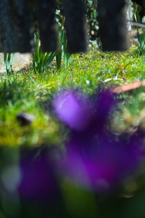 Free stock photo of bokeh, garden fence, garden flowers, green grass