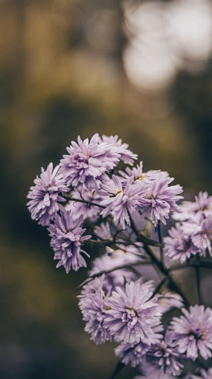 Amazing delicate purple Chrysanthemum flowers with thin stem growing on tree against blurred environment