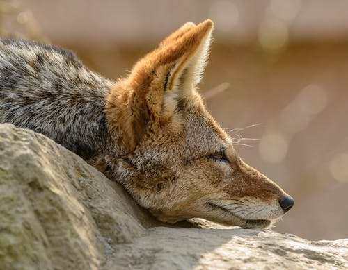 Brown and Black Fox Lying on Gray Rock
