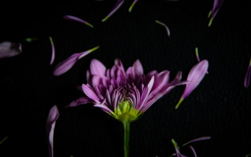 Purple Flower in Black Background