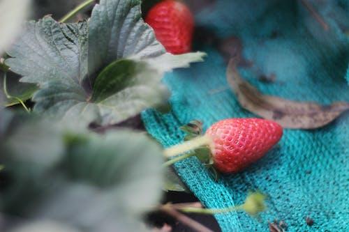 Gratis stockfoto met aardbei, aardbeien, biologisch