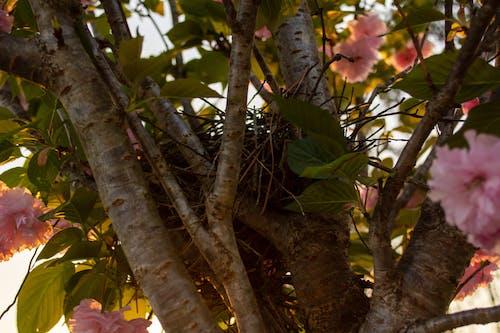 Free stock photo of birds nest, nest in tree, pink flowers