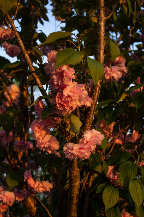 Free stock photo of flowers, pink flowers, tree