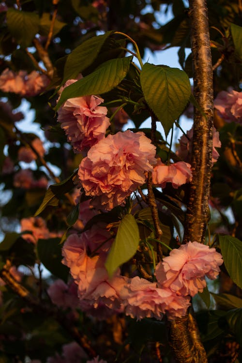 Free stock photo of flowers, flowers on tree, pink flowers