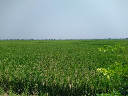Free stock photo of agriculture, grass, rice plant