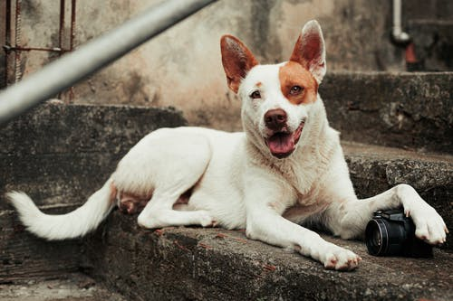 White and Brown Short Coated Dog Lying on Concrete Floor