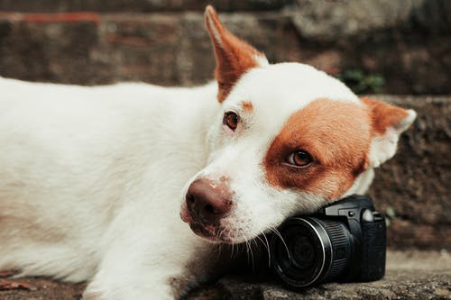 White and Brown Short Coated Dog Lying With Camera On Head