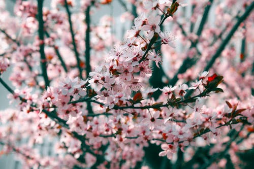 Pink Cherry Blossoms in Close Up Photography