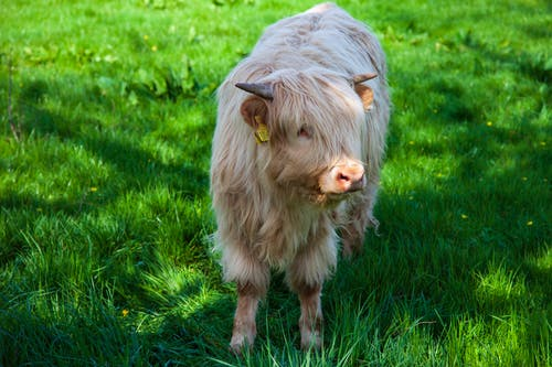 White Long Coated Highland Cow on Green Grass Field