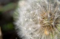 flower, outdoors, dandelion